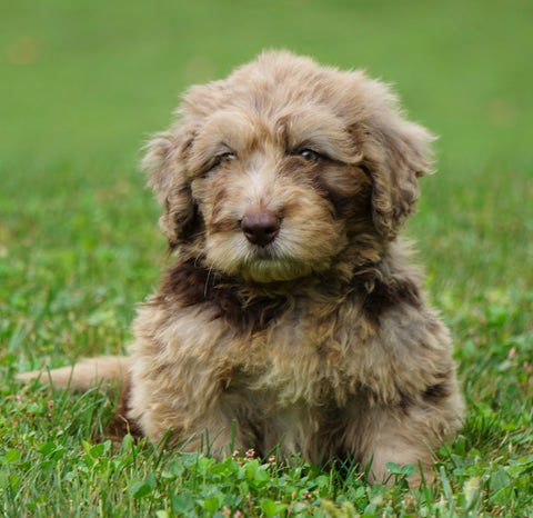 Mini Newfypoo For Sale Holmesville, OH Male - Mason