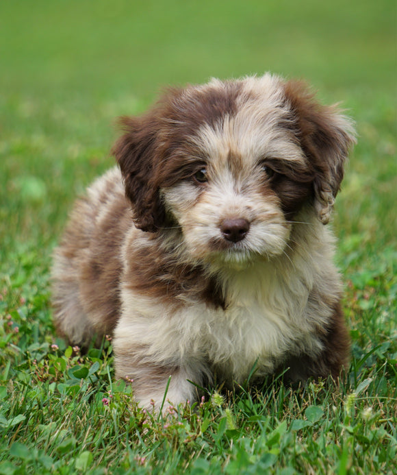 Mini Newfypoo For Sale Holmesville, OH Female - Mia