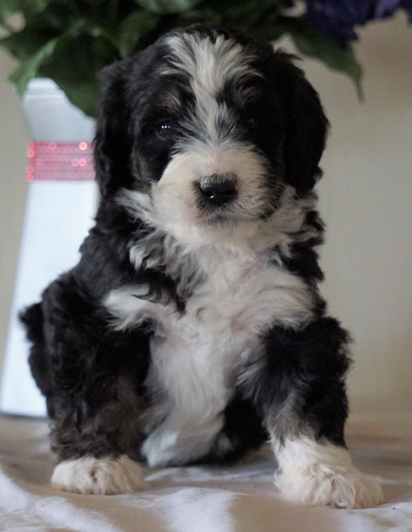 Bernedoodle For Sale Sugarcreek, OH Female- Chloe