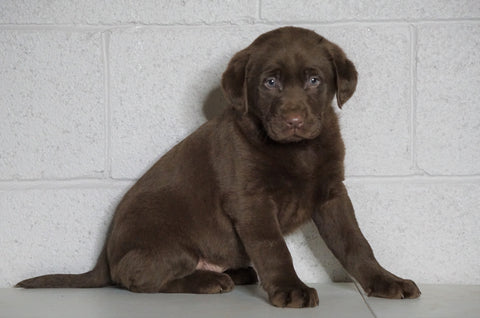 AKC Registered Labrador Retriever For Sale Sugarcreek, OH Female- Carmen