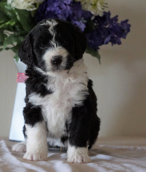 Bernedoodle For Sale Sugarcreek, OH Female- Princess