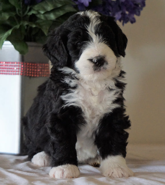 Bernedoodle For Sale Sugarcreek, OH Female- Daisy
