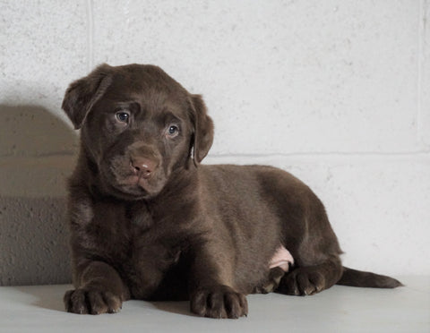 AKC Registered Labrador Retriever For Sale Sugarcreek, OH Male- Xander