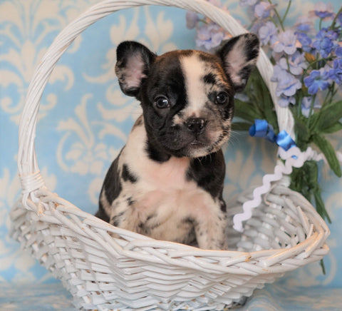 ICA Registered Frenchton For Sale Mansfield, OH Male - Archie