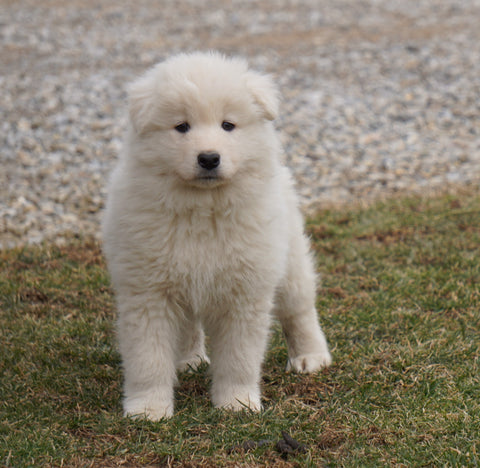 AKC Registered Samoyed Puppy For Sale Danville, OH Male- Jackson