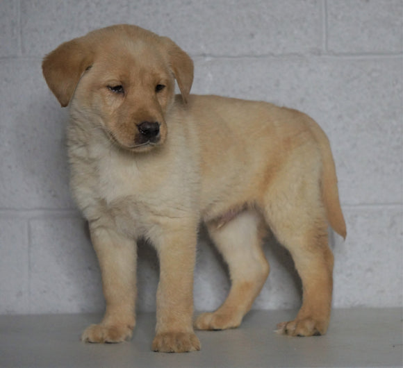 Labrador Retriever Mix For Sale Sugarcreek, OH Male- Winston