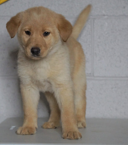 Labrador Retriever Mix For Sale Sugarcreek, OH Male- Rufus
