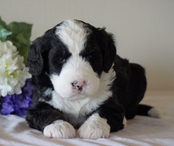 Bernedoodle For Sale Sugarcreek, OH Female- Skye