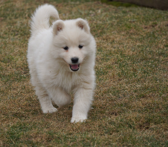 AKC Registered Samoyed Puppy For Sale Danville, OH Female- Snowy