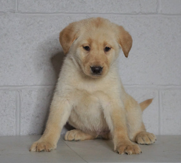 Labrador Retriever Mix For Sale Sugarcreek, OH Male- Clay