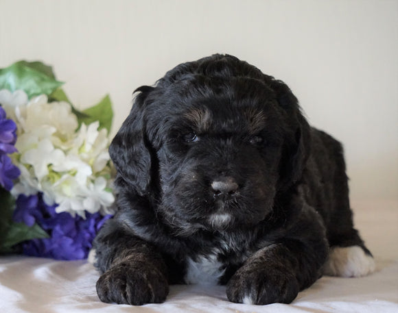 Bernedoodle For Sale Sugarcreek, OH Female- Roxy