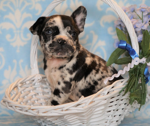ICA Registered Frenchton For Sale Mansfield, OH Male - Rocky