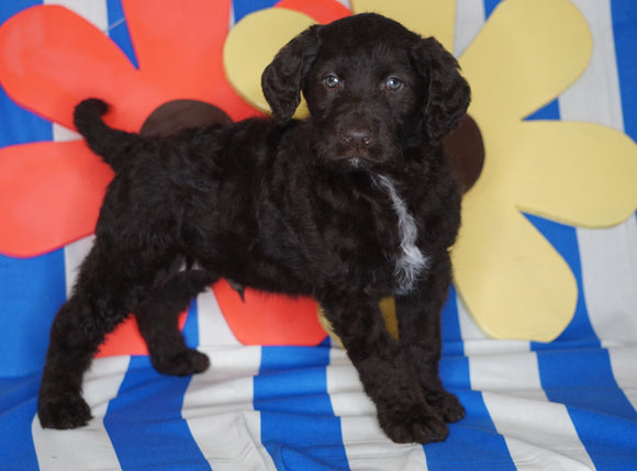 Labradoodle For Sale Millersburg, OH Male- Rover