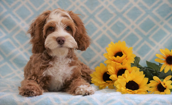 Cockapoo Puppy For Sale Fredericksburg, OH Male- Cody