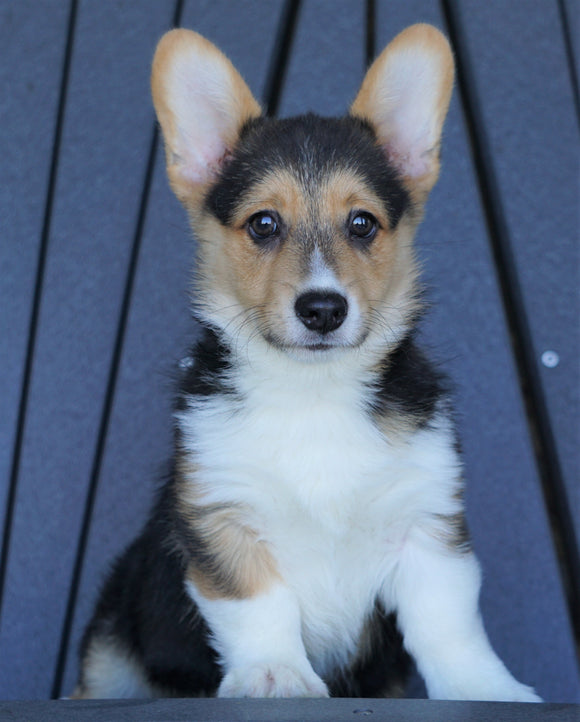 AKC Registered Pembroke Welsh Corgi For Sale Millersburg, OH Male- Wyatt