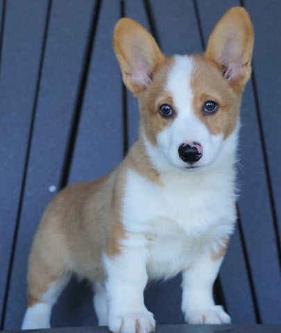 AKC Registered Pembroke Welsh Corgi For Sale Millersburg, OH Male- Basil