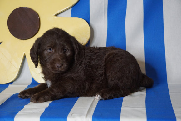 Labradoodle For Sale Millersburg, OH Female- Lucy