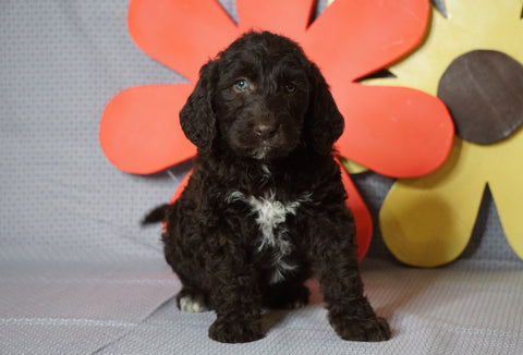 Labradoodle For Sale Millersburg, OH Male-  Rocky