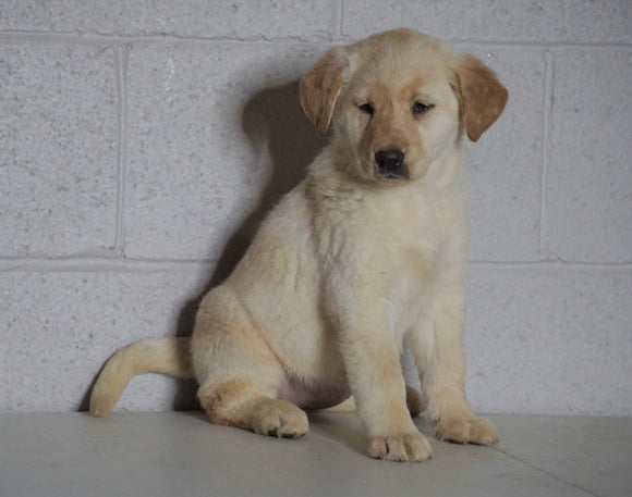 Labrador Retriever Mix For Sale Suagrcreek, OH Female-Lily