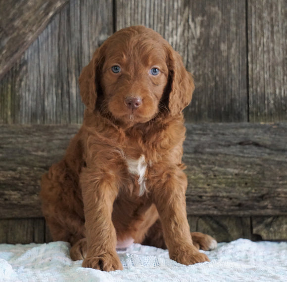 F2 Medium Goldendoodle For Sale Holmesville, OH Female- Heidi