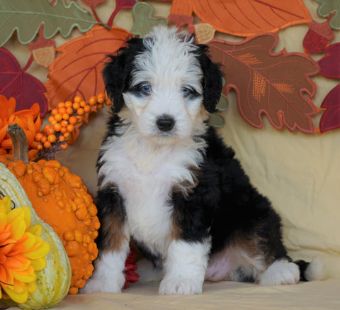 Mini Bernedoodle *TRI COLOR-BLUE EYES* For Sale Fredericksburg, OH Female- Stella