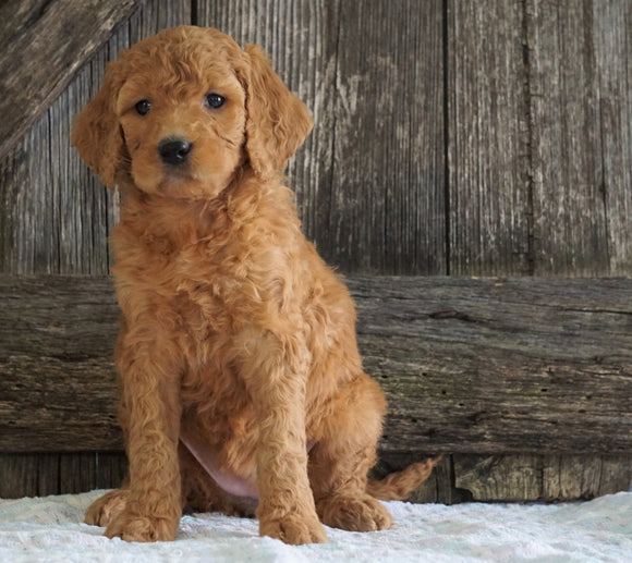 F2 Medium Goldendoodle For Sale Holmesville, OH Female- Hannah