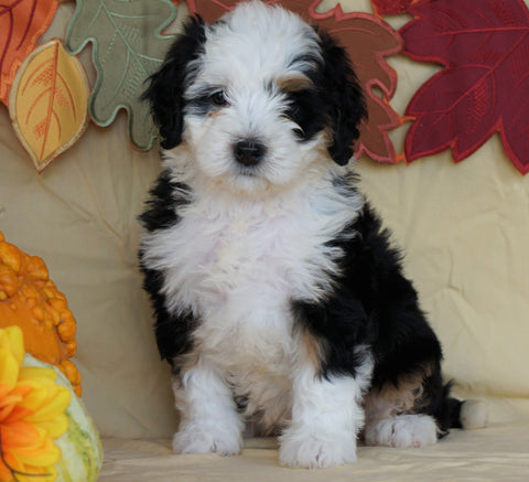 Mini Bernedoodle *TRI COLOR* For Sale Fredericksburg, OH Female- Sasha