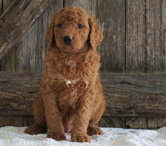F2 Medium Goldendoodle For Sale Holmesville, OH Male- Harrison