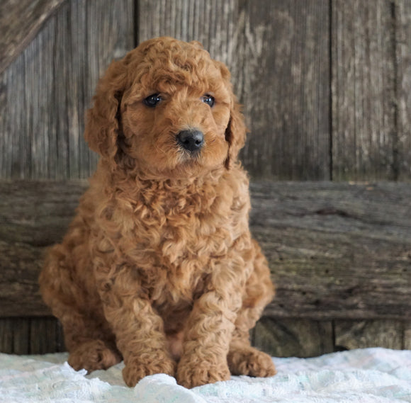 F2 Medium Goldendoodle For Sale Holmesville, OH Male- Hank