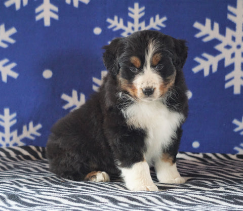 Australian Shepherd For Sale Wooster, OH Female - Sadie