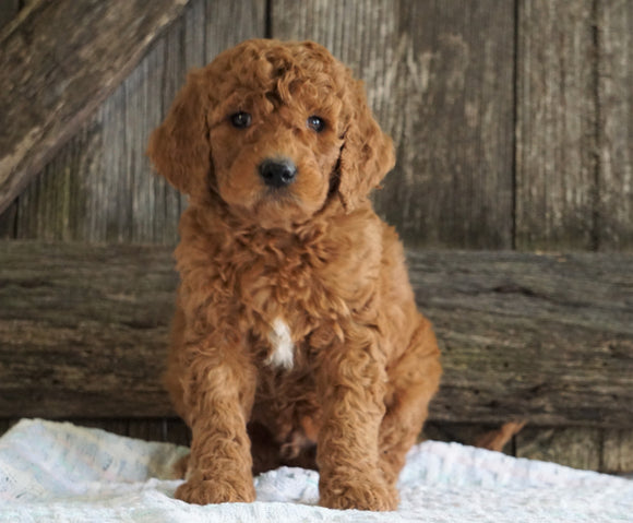 F2 Medium Goldendoodle For Sale Holmesville, OH Male- Houston