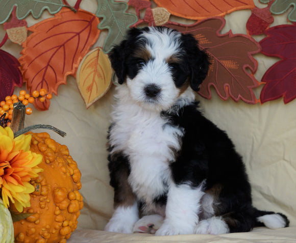 Mini Bernedoodle *TRI COLOR* For Sale Fredericksburg, OH Male- Rascal