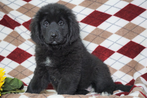 AKC Registered Newfoundland Puppy For Sale Dalton, OH Female- Pixie