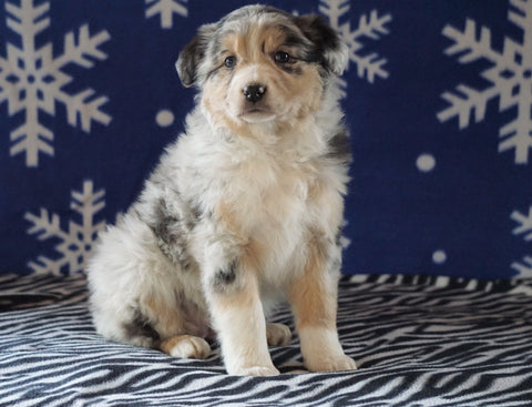 Australian Shepherd For Sale Wooster, OH Female - Daisy
