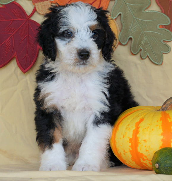 Mini Bernedoodle *TRI COLOR* For Sale Fredericksburg, OH Male- Milo
