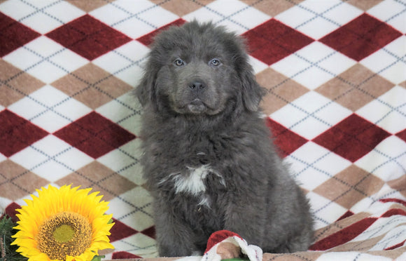 AKC Registered Newfoundland Puppy For Sale Dalton, OH Male- Clay