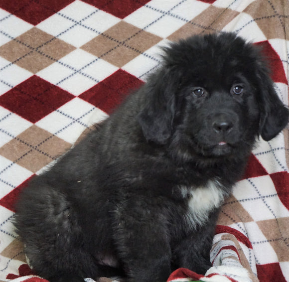 AKC Registered Newfoundland Puppy For Sale Dalton, OH Male- Roscoe