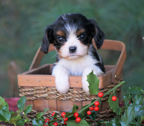 AKC Registered Cavalier King Charles Spaniel For Sale Fredericksburg, OH Female- Casey