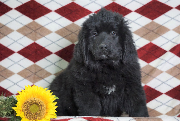 AKC Registered Newfoundland Puppy For Sale Dalton, OH Female- Lexi