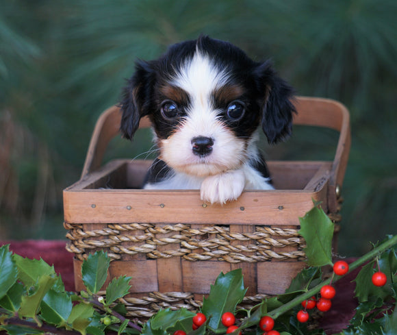 AKC Registered Cavalier King Charles Spaniel For Sale Fredericksburg, OH Female- Chloe