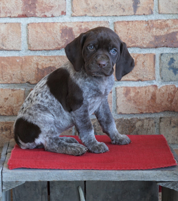 AKC German Shorthaired Pointer For Sale Millersburg, OH Female- Oakley