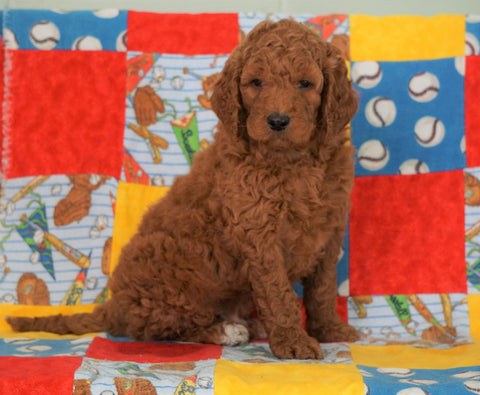 F1B Standard Goldendoodle For Sale Holmesville, OH Male - Oscar