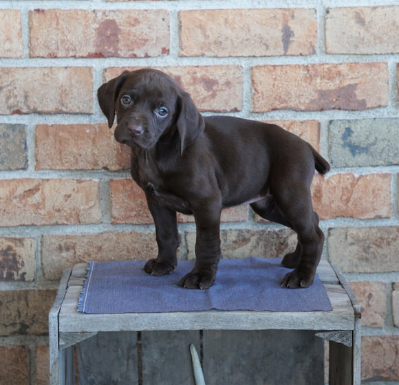 AKC German Shorthaired Pointer For Sale Millersburg, OH Female- Sadie