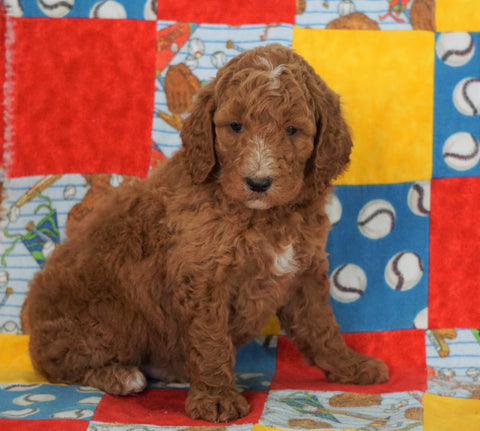 F1B Standard Goldendoodle For Sale Holmesville, OH Male - Samson