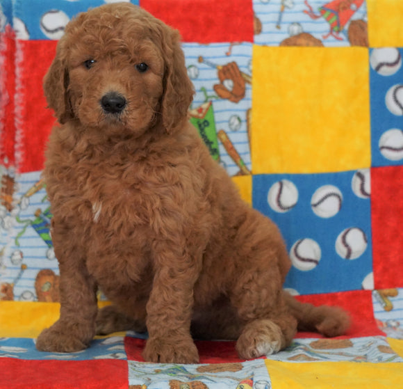 F1B Standard Goldendoodle For Sale Holmesville, OH Male - Roscoe
