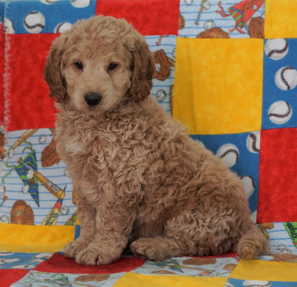 F1B Mini Goldendoodle For Sale Holmesville OH Male- Baker