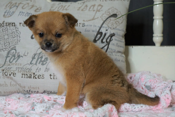 Pomeranian Mix For Sale Holmesville, OH Female- Ginger