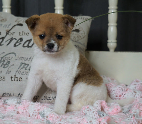 Pomeranian Mix For Sale Holmesville, OH Male- Milo