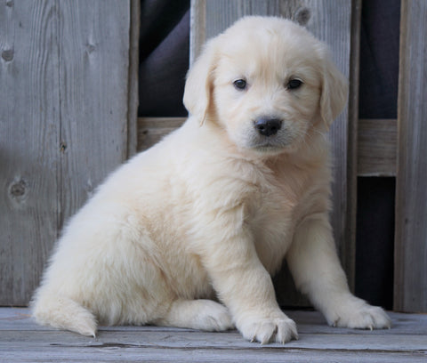 AKC Registered English Cream Golden Retriever For Sale Fredericksburg, OH Male - Benji *Genetic Tested*