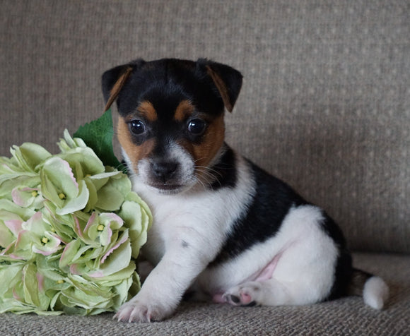 Jack Russell Terrier For Sale Applecreek, OH Male- Bouncer